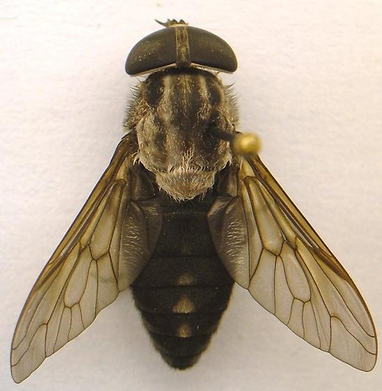 Horse Fly - Tabanus superjumentarius - female
