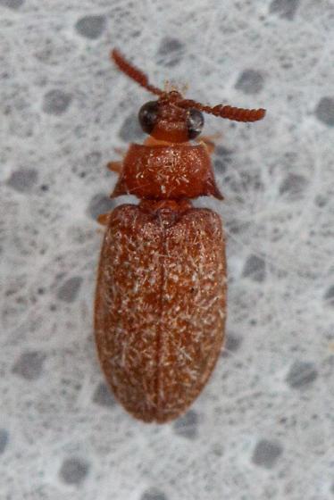 Melyrodes cribrata? - Brachypsectra fulva