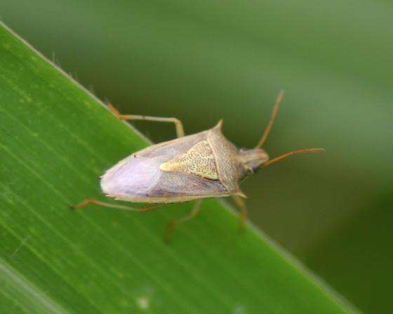 Stink bug!! - Oebalus pugnax