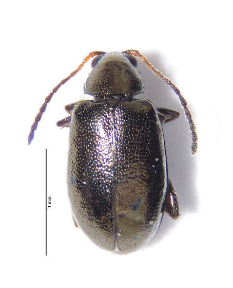 Very small flea beetle - Alticini - Phyllotreta