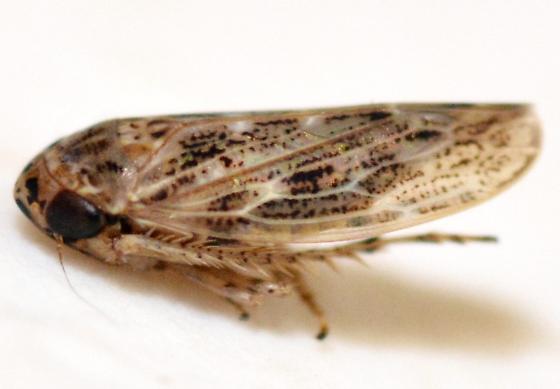 Hopper - Euscelidius variegatus - male