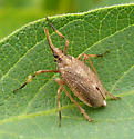 Dictyopharidae - Scolops sulcipes