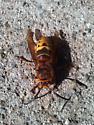 Beautiful Bee? - Vespa crabro - male