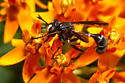 Conopid - Physocephala furcillata - male
