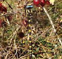 unknown dragonfly - Cordulegaster dorsalis