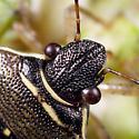 Stink Bug ID - Mormidea lugens