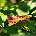 Eastern Comma Butterfly - Polygonia interrogationis