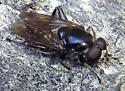 Unknown syrphid fly - Chalcosyrphus