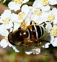 Drone fly - Eristalis stipator - male