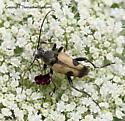 Longhorned Beetle - Judolia cordifera