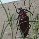 Brown beetle, 3+ inches long, pinchers, long antenna. found in evening, Texas panhandle, in area of lake. - Derobrachus