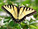 Swallowtail - Apr 20 - Papilio glaucus - male