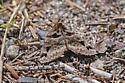 Mystery moth - Euclidia cuspidea