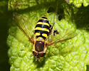 unidentified Hoverfly 2