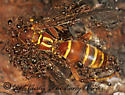 262830 - Solenopsis invicta - female