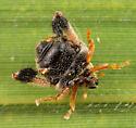 Coleoptera (Little Wooly Mammoth) - Tachygonus lecontei