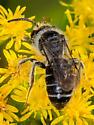 Andrena bee - Andrena - male