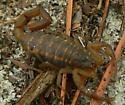 Scorpion - Centruroides hentzi