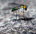 Longl-Legged Fly - female