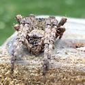 furry spider front view - Araneus