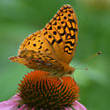 A fritillary of some kind - Speyeria cybele - male