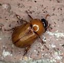 Diplotaxis ? - Cyclocephala