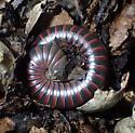 Tylobolus claremontus - male