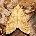 8216 – Santa Ana Tussock Moth - Lophocampa annulosa
