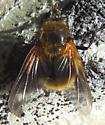 golden fly - Mesembrina decipiens