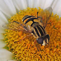 syrphid fly - Helophilus latifrons - female