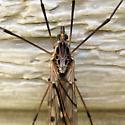 Large Crane Fly - Tipula