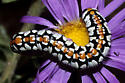 Caterpillars on Tansy-Aster - Cucullia dorsalis