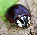 dark spotted beetle - Anatis labiculata