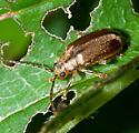 Little Bronze Beetle - Pyrrhalta viburni