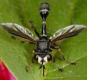 Physocephala cf furcilliata - Physocephala furcillata - female