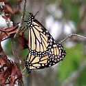 Monarch - Hodges#4614 (Danaus plexippus) - Mating Pair - Danaus plexippus - male - female