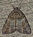 Camouflaged Moth - Catocala ilia-umbrosa