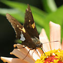 Sunny Day - Epargyreus clarus