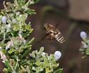 Bee fly - Exoprosopa brevirostris