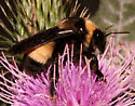 Black-and-gold Bumble Bee, lateral - Bombus auricomus - female