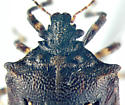 Turtle Bug, head - Amaurochrous cinctipes