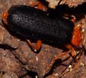 Beetle chewing - Neopyrochroa flabellata