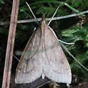 Celery Leaftier Moth - Hodges#5079 - Udea rubigalis