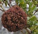 Asphondylia auripila