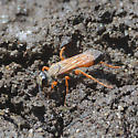 Thread-waisted Wasp - Sphex ichneumoneus