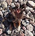 Aphonopelma hentzi - Texas Brown Tarantula? - Aphonopelma