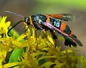 Red and black wasp mimic - Synanthedon sapygaeformis