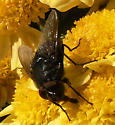 Black Fly on chrysanthemums - male