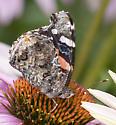 Butterfly (Hairstreak?) - Vanessa atalanta