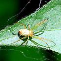 spider - Mangora maculata